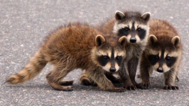 baby-raccoons-e1578247456281.jpg